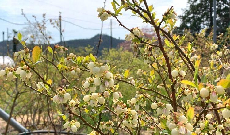 ノビリス農園ブルーベリーの花