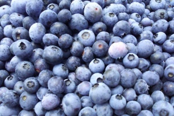 青い宝石のような丹波産ブルーベリー