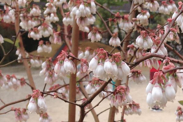 わかさブルーベリー農園のブルーベリーの花