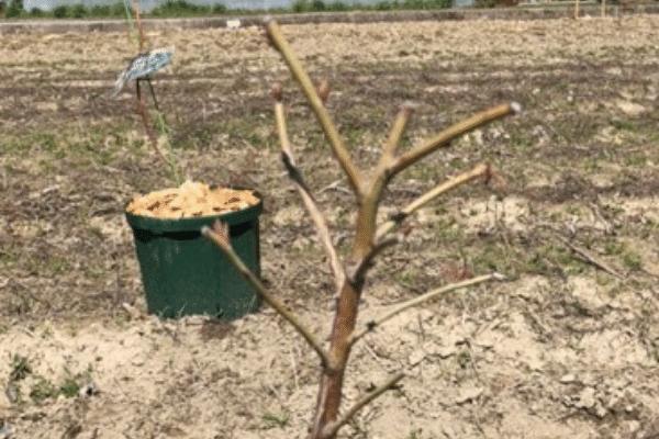 剪定したブルーベリーの枝