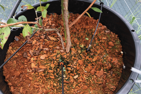 自動的に水や肥料がブルーベリーに送られる「養液栽培」