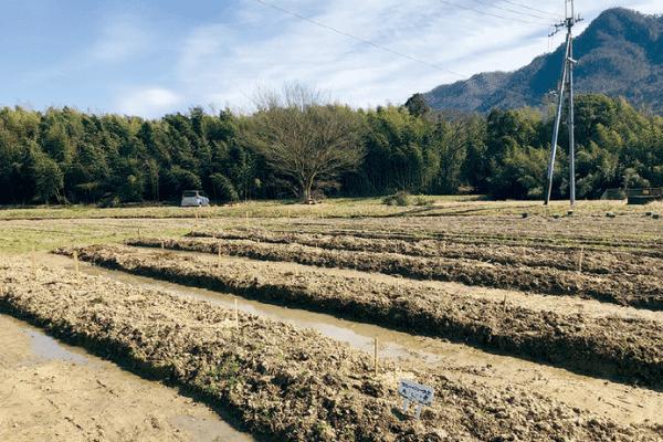 わかさブルーベリー農園ブルーベリーを植える畑の畝