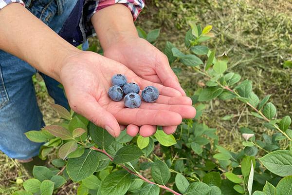 手の上に数粒のブルーベリーを収穫しているところ