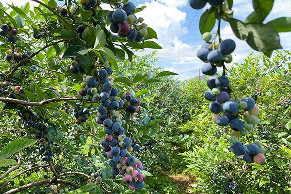 農場に入ると絵本に出てくるようなブルーベリーの森が広がっている