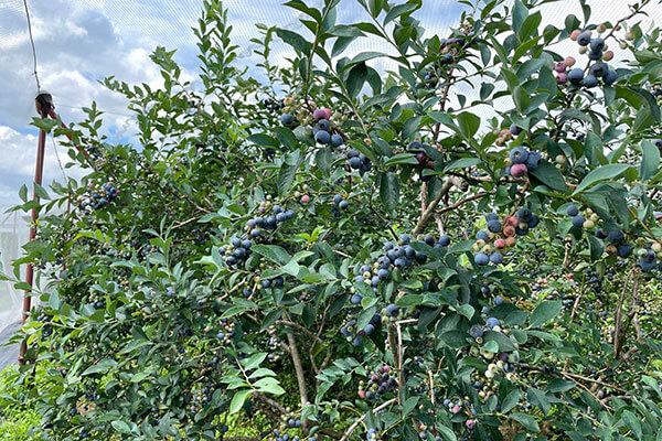 奥丹波ブルーベリー農場のたくさん実っているブルーベリー