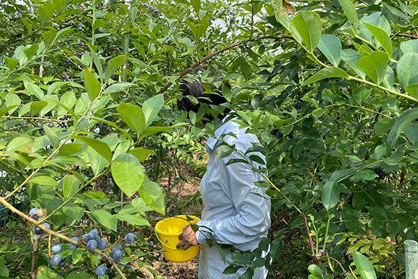 ブルーベリーのジャングルのように生い茂る大内農園のブルーベリー