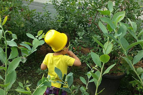 黄色いバケツをかぶってブルーベリー狩りを楽しむ子ども